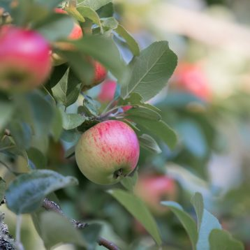 Omenapuun alla